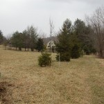 a line of spruce trees looking back toward the house
