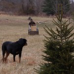 hauling hay under the watchful gaze of Xena